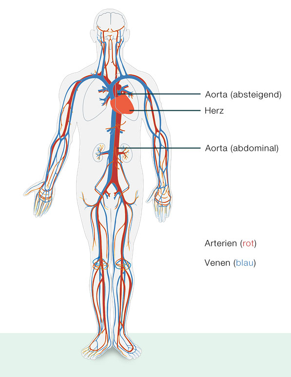 Arterien & Venen - Der lange Weg des Blutes durch den Körper