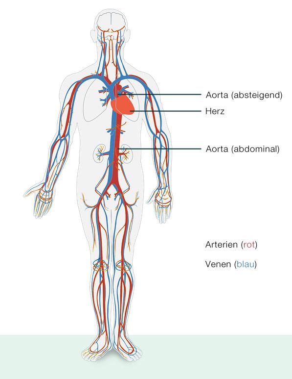 Arterien im Blutkreislauf - musthave-medical.com