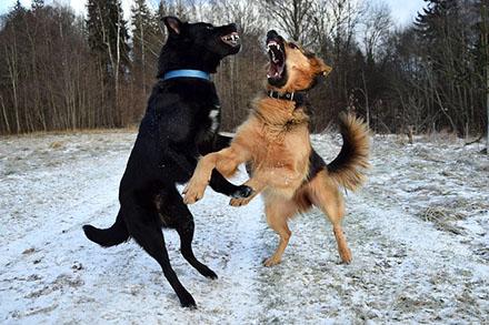Kampf zweier Hunde im Schnee